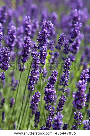 a lot of fragrant lavender blossoms closeup - stock photo