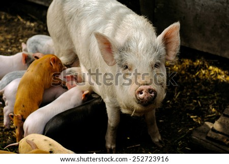 A lot of little piglets with their great big pig - stock photo