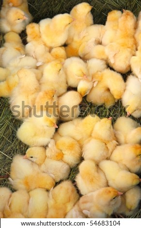 A lot of little yellow chickens. - stock photo
