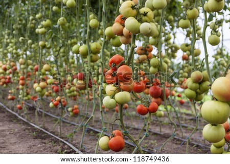 A lot of red tomatoes in a greenhouse - stock photo