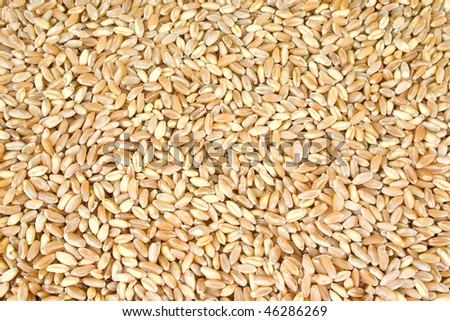 a lot of ripe dried wheat seeds