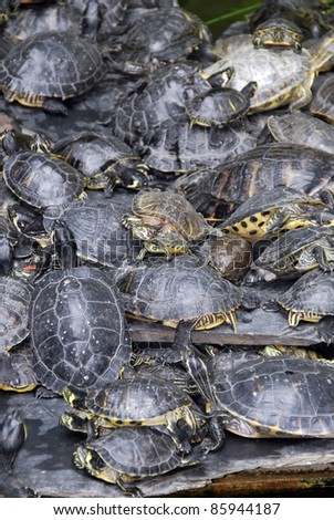A lot of turtles stacked near the swamp - stock photo