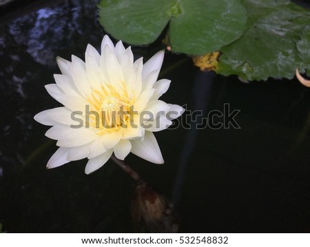 A lotus flower blooming in the water at morning
