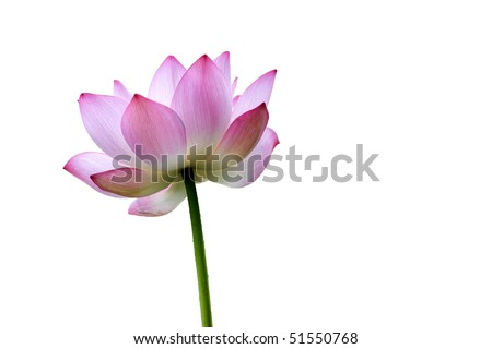 a lotus flower isolated on white