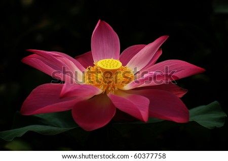 a lotus in black background - stock photo