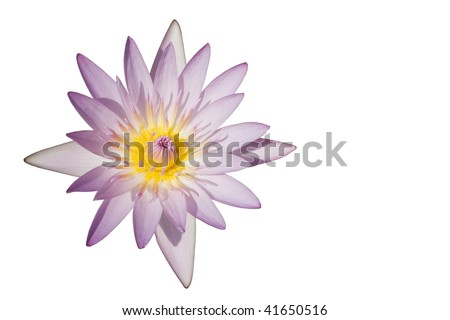 A lotus/water lily flower.  It's at it's prime and has been isolated from its background.  So it can be used as a design element in many types of designs.