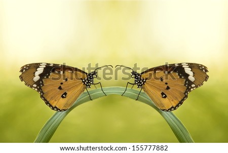 a love story of 2 / couple / double / pair  butterfly looking at each other  on a green curved leaf - stock photo