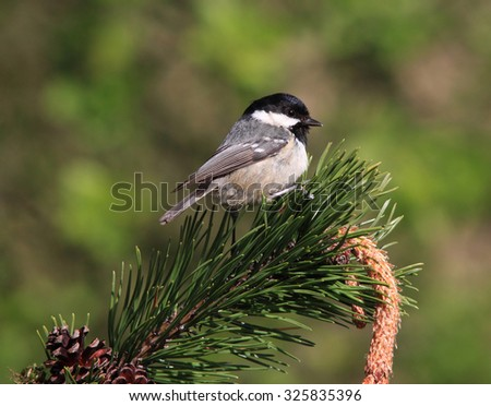 A lovely Coal tit, perched on a pine branch - stock photo