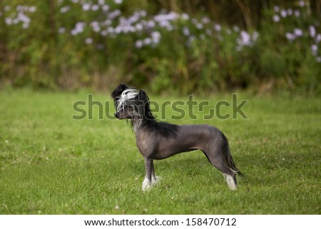 A lovely Little Chinese Crested Hairless Dog Female in Standard Portrait - stock photo