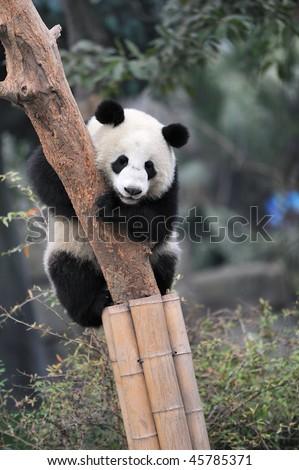 a lovely panda climbing the tree - stock photo