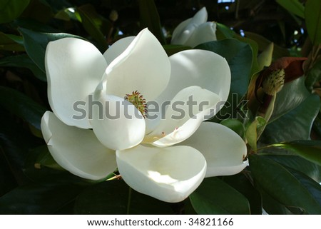 A lovely single specimen of an Arkansas magnolia tree flower blossom in dappled sunlight.