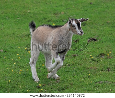 A lovely young Goat running in a green field - stock photo