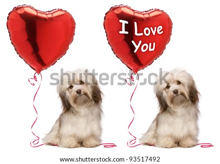 A lover chocolate valentine havanese dog set with a red heart balloon, isolated on white background - stock photo