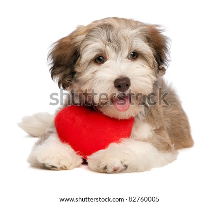 A lover chocolate valentine havanese puppy dog with a red heart isolated on white background - stock photo