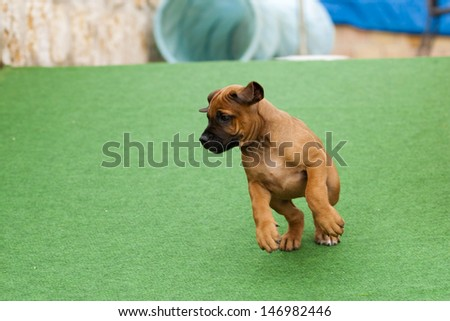 A lovley and cute Rhodesian Ridgeback puppy is playing and feels like a little stage hog. - stock photo