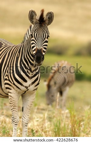 A low angle side profile of this beautiful Burchells Zebra.Taken while on safari in Addo elephant national park,eastern cape,south africa