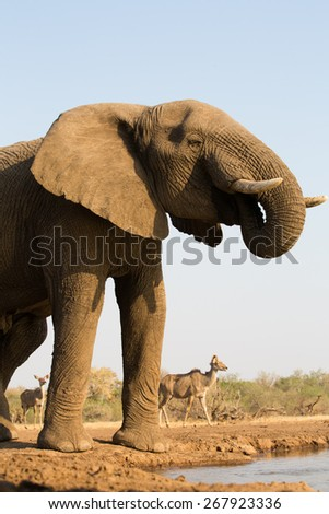 A low angle, vertical, color photo of an elephant bull drinking at a waterhole, with kudu cows walking by in the distance. - stock photo
