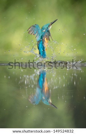 A low angle view of a male Kingfisher, rising from the water after an unsuccessful dive for minnows. - stock photo