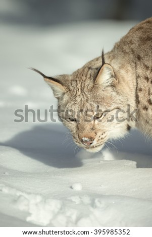 A Lynx listening for movement of prey under the snow. - stock photo