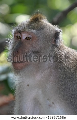 A macaque monkey.