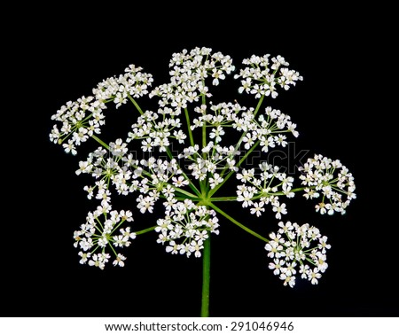 A macro close-up of Queen Anne's lace wildflower against a black background. - stock photo