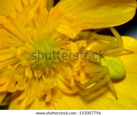 A macro closeup of a Crab Spider perched on a flower. - stock photo