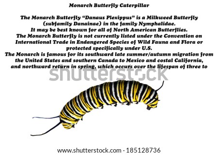 """A Macro """"extreme close up"""" of a Genuine Monarch Butterfly Caterpillar """"Danaus plexippus"""" isolated on white with useful and interesting information on this amazing and beautiful animal. room for text - stock photo"""