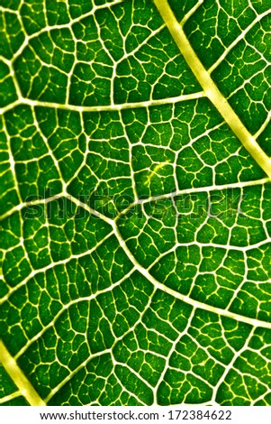 A macro of a leaf texture to back lighting - stock photo