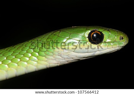 A Macro of a WILD Natal or Eastern Green Snake (Philothamnus Natalensis) in Eldoret, Kenya, Africa. Isolated on black with plenty of space for text.
