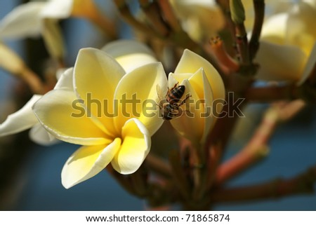 "a Macro or Close Up view of a Honey Bee ""Apis mellifera"" on a white and yellow plumeria ""Frangipani"" flower"