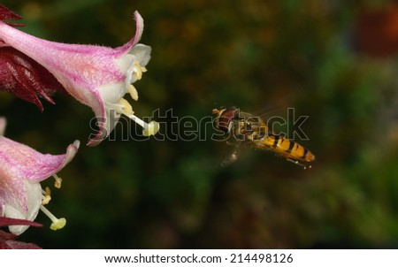 A macro photo of a Hoverfly on a beautiful white and pink flower