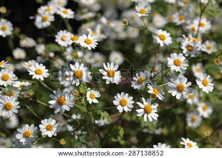 A macro photography of feverfew flowers (Tanacetum parthenium). - stock photo