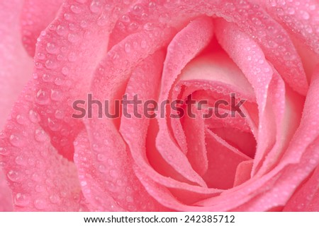 A macro shot of a beautiful pink rose with water drops - stock photo