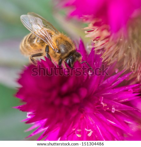 A macro shot of a bee collecting pollen from a celosia bloom.