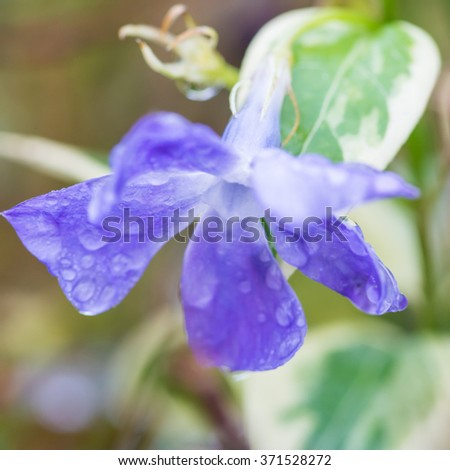 A macro shot of a blue periwinkle bloom covered in raindrops. - stock photo