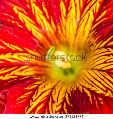 A macro shot of a bright red and yellow salpiglossis bloom. - stock photo