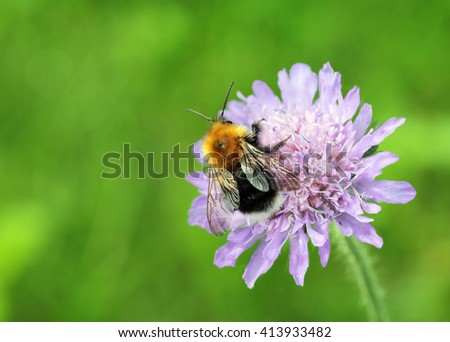 A macro shot of a bumblebee collecting pollen from a field scabious flower with place for your text. Shallow depth, selective focus. - stock photo