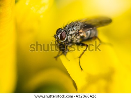 A macro shot of a fly sitting within the petals of a yellow flag iris.