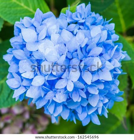 A macro shot of a hydrangea bloom. - stock photo