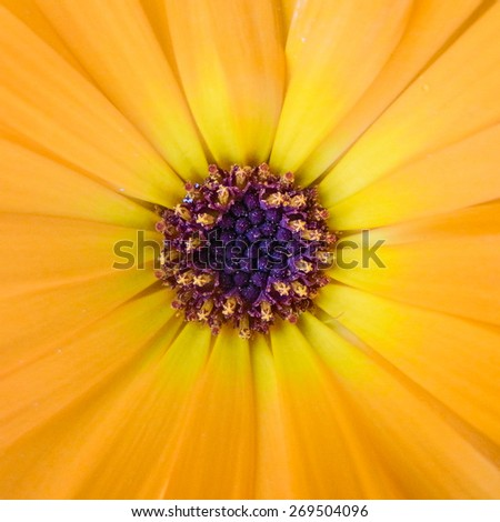 A macro shot of a marigold bloom. - stock photo