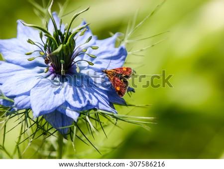 A macro shot of a mint moth sitting on a nigella bloom. - stock photo