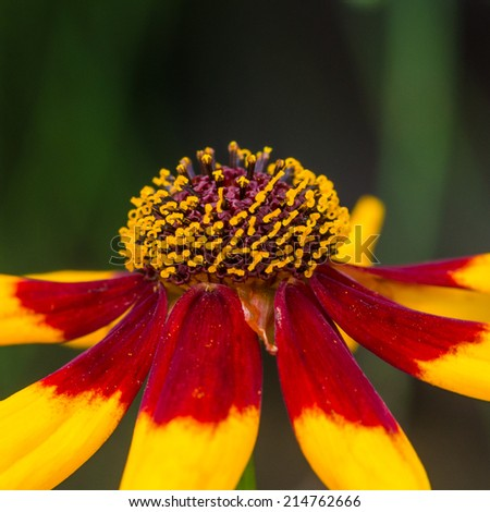 A macro shot of a plains coreopsis bloom.