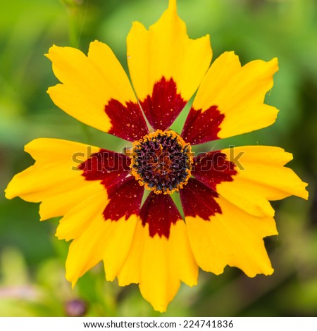 A macro shot of a plains coreopsis bloom. - stock photo