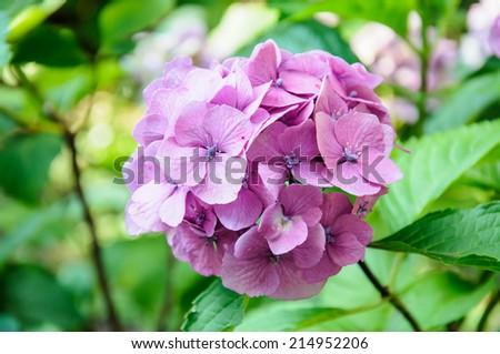 A macro shot of a purple hydrangea bloom - stock photo