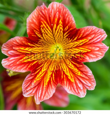 A macro shot of a red and yellow salpiglossis bloom. - stock photo