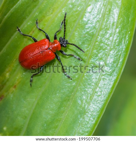 A macro shot of a red lily beetle sitting within the green leaves of an oriental lily. - stock photo