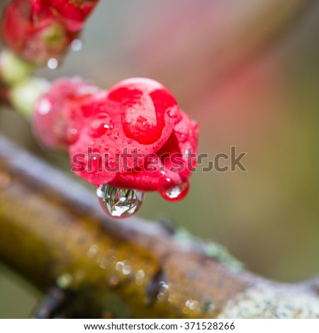 A macro shot of a red quince bush bloom with raindrops hanging. - stock photo