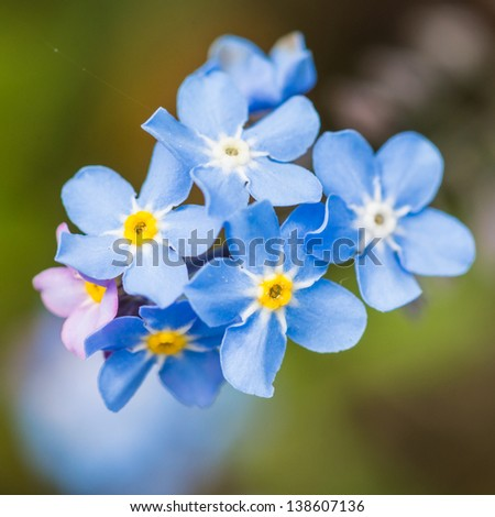 A macro shot of a small collection of forget me not blooms. - stock photo