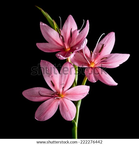 A macro shot of a small pink lily shot against a black background. - stock photo