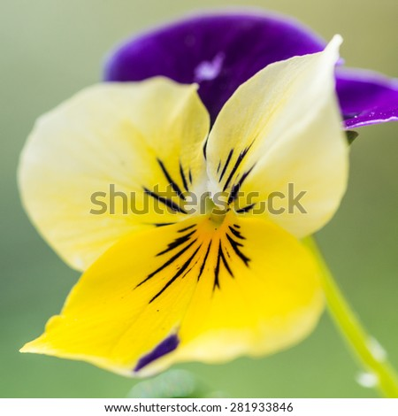A macro shot of a small yellow viola bloom. - stock photo